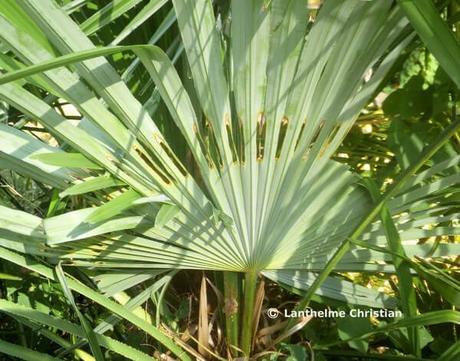 éventail troué typique du papillon du palmier