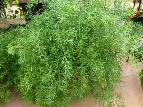Asparagus (Asparagus plumosus), l'asperge des fleuristes