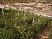 "Matcha cultivar Gokô matcha grade ""gourmet"""