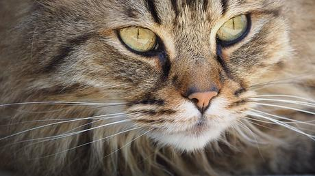 Pourquoi 24 les chats ont-ils des moustaches ?
