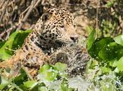 Bresil sublime pantanal
