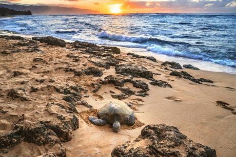 tortue honu hawai