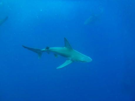 requin hawai