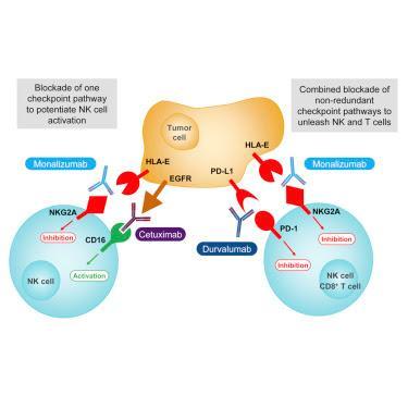 #Cell #Cancer #CellulesT #CellulesNK #anticorpsmonoclonal L'anticorps monoclonal Anti-NKG2A est un Inhibiteur de Point de Contrôle qui Favorise l'immunité Anti-tumorale par Activation des Cellules T et les Cellules NK