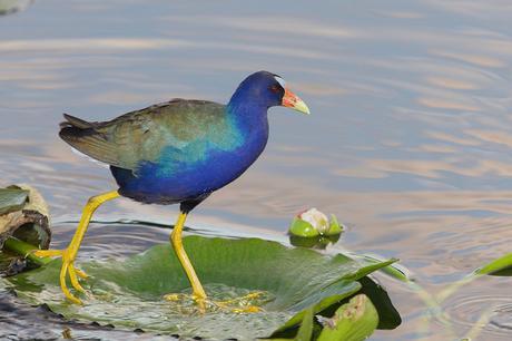 Un oiseau dans les Everglades