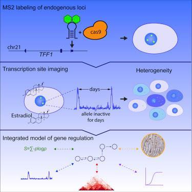 #Cell #gène #hétérogénéité La Dynamique Intrinsèque d'un Gène Humain Révèle la Base de l'Expression de l'Hétérogénéité