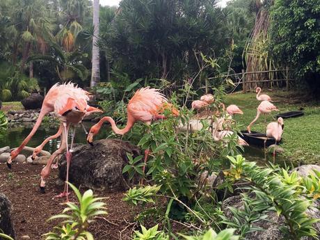 jardin botanique de deshaies en Guadeloupe, les flamants roses