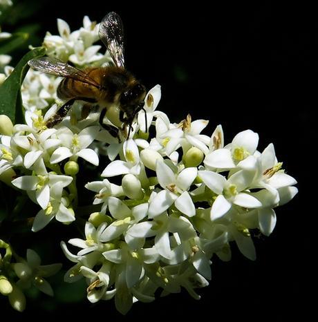 Troène commun (Ligustrum vulgare)