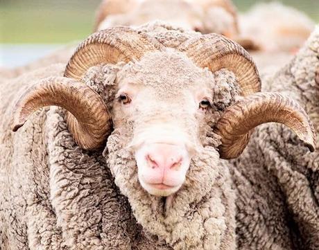 La laine mérinos issue des moutons