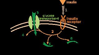 #thelancetendocrinologyandmetabolism #insuline #insulineperos #insulineglargine Efficacité et innocuité de l'insuline administrée per os versus insuline glargine administrée par voie sous-cutanée : essai de phase 2 randomisé, en double-aveugle