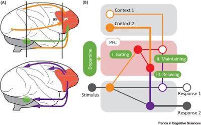 #trendsincognitivesciences #cognition #cortexpréfrontal #dopamine Dopamine et Contrôle Cognitif du Cortex Préfrontal