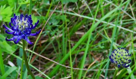 Raiponce délicate (Phyteuma orbiculare subsp. tenerum)
