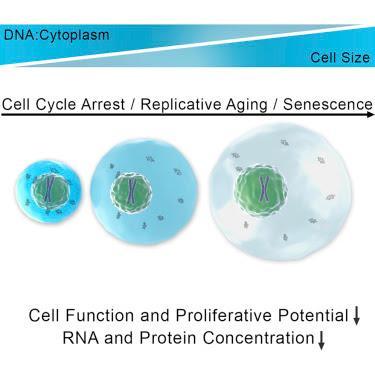 #Cell #cellule #croissance #ADN #protéines Une Croissance Cellulaire Excessive Cause une Dilution du Cytoplasme et Contribue à la Sénescence
