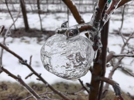 Froid polaire : des «pommes fantômes» transparentes dans le Michigan