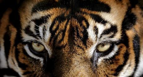 Photo des yeux d'un tigre