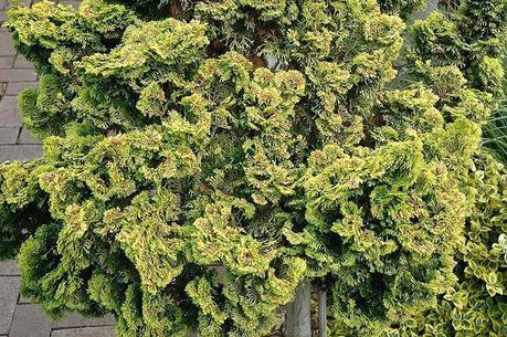 dwarf hinoki cypress dwarf golden nana at chalet nursery dwarf golden hinoki cypress for sale