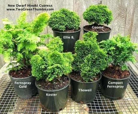 dwarf hinoki cypress true dwarf cypress for the miniature garden fairy garden or railroad garden dwarf hinoki cypress monrovia
