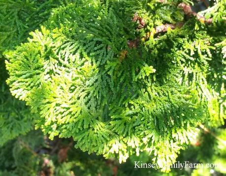 dwarf hinoki cypress family farm dwarf cypress dwarf hinoki cypress tree form