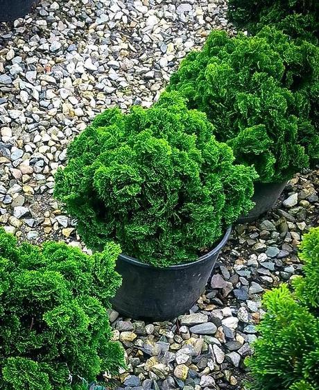 dwarf hinoki cypress cypress nana dwarf hinoki cypress bonsai tree