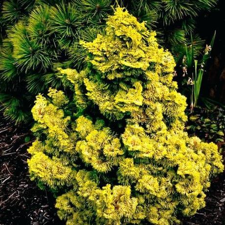 dwarf hinoki cypress dwarf hinoki cypress nana gracilis