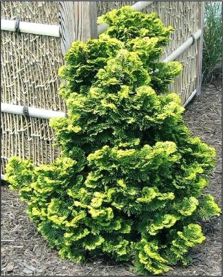 dwarf hinoki cypress dwarf cypress high wide very dwarf compact cypress with yellow foliage does not burn in sunlight grows in full sun to light golden dwarf hinoki cypress bonsai