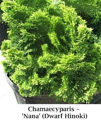 dwarf hinoki cypress dwarf w dwarf hinoki false cypress nana