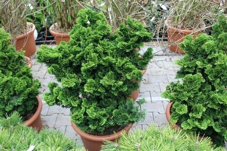 dwarf hinoki cypress cypress dwarf standard true dwarf hinoki cypress nana