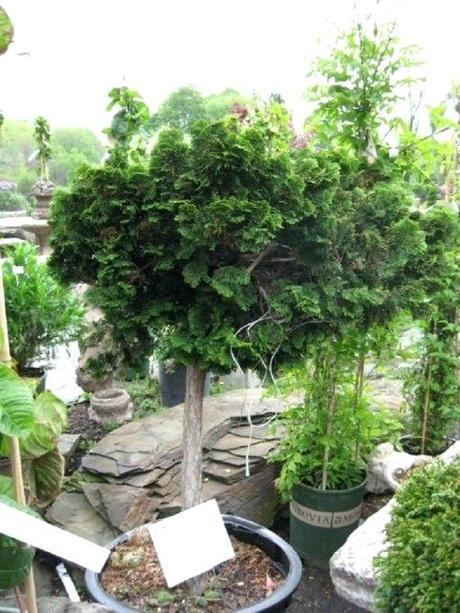 dwarf hinoki cypress nana standard the most popular dwarf cypress has an irregularly dwarf hinoki cypress nana gracilis