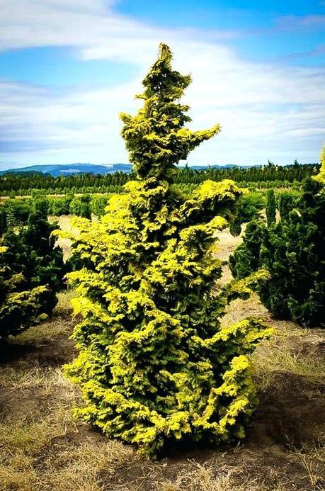 dwarf hinoki cypress plant dwarf hinoki false cypress for sale