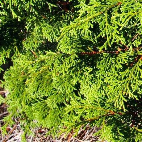 dwarf hinoki cypress dwarf hinoki cypress bonsai