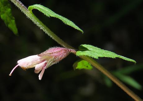 Odontite rouge (Odontites vernus)