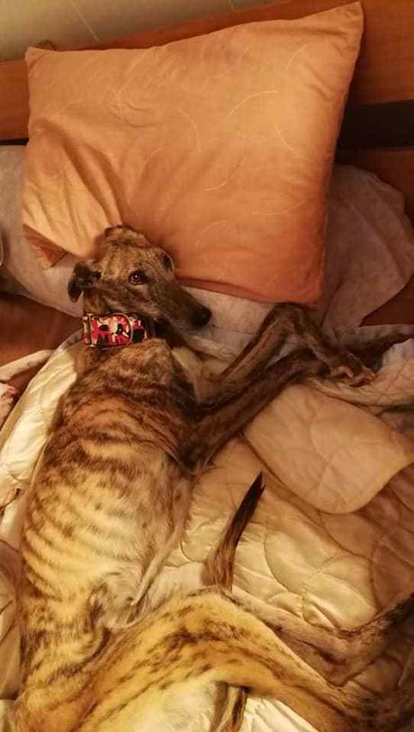 A. Daniela levrier galga 13kgs 2ans  besoin d'une super adoption contactez sos chiens galgos