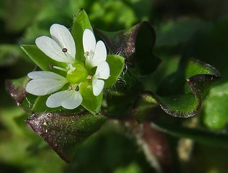 Stellaire intermédiaire (Stellaria media subsp. media)