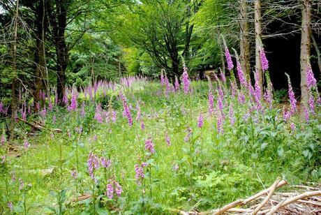 Digitales dans la forêt vosgienne © French Moments