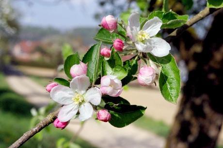 Hirtzbach Sundgau Alsace printemps