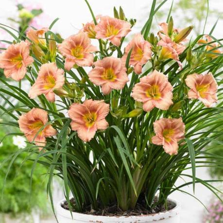L'Hémérocalle Everydaylily Rose… 5 mois de fleurs en été !