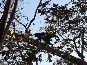 Un singes hurleurs et un iguane