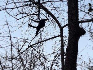 Les singes Hurleurs
