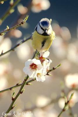Les mésanges et les fleurs d'amandiers