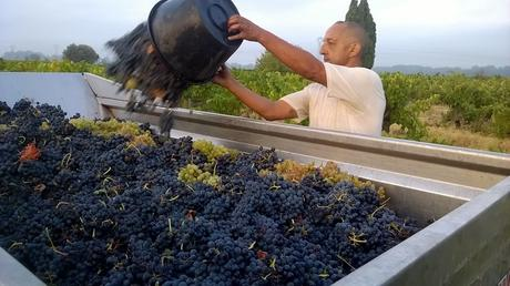 Tri des Syrahs à la Vigne