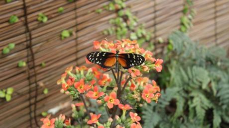 papillons du jardina ux papillons de Vannes dans le morbihan