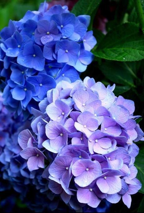 plante balcon ouest hortensia bleu violet fleur - blog déco - clem around the corner