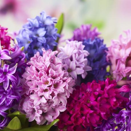 plante balcon ouest jacinthe bouquet rose rouge bleu violet - blog déco - clem around the corner