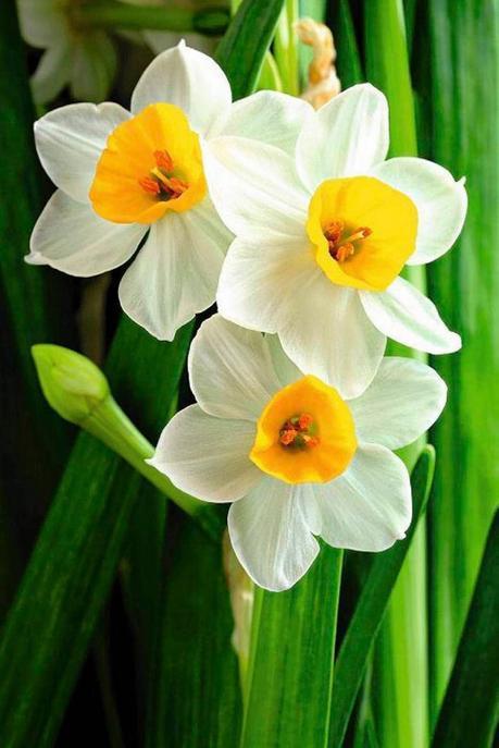 plante balcon ouest narcisse blanche jaune orange fleur - blog déco - clem around the corner