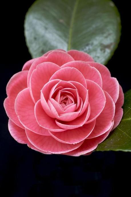 plante balcon ouest camélia rose fleurs feuille - blog déco - clem around the corner