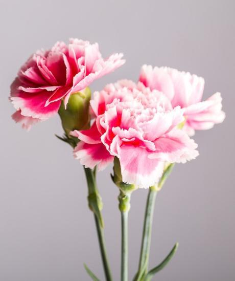 plante balcon ouest oeillet rose pastel fleur - blog déco - clem around the corner