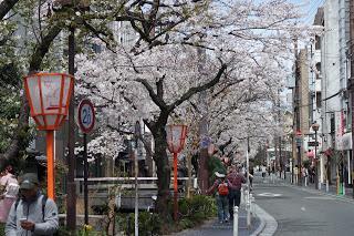 Kyoto, cerisiers en fleur