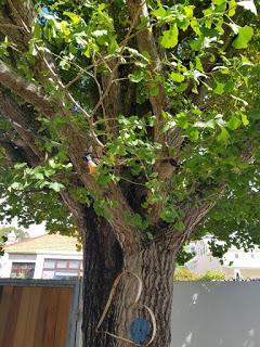 arbre aux mille écus