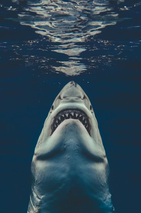 Sa photo d'un grand requin blanc ressemble à l'affiche des « Dents de la Mer »
