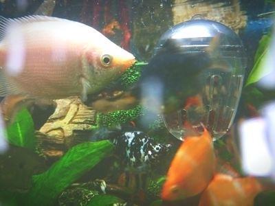 modern fish tank how to treat ammonia poisoning in aquarium fish modern fish tank ideas